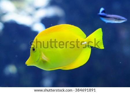Zebrasoma Flavescens yellow tang in the aquarium - stock photo