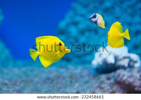 Zebrasoma flavescens - yellow tang - saltwater fish - stock photo
