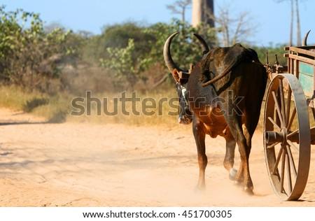 Zebu cart on the sandy road going through the Avenida the Baobab near Morondava in Madagascar - stock photo