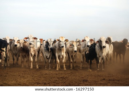 Zebu cattle at the edge of the Amazon rain forest in Brazil, where cattle ranching is the biggest cause of deforestation - stock photo