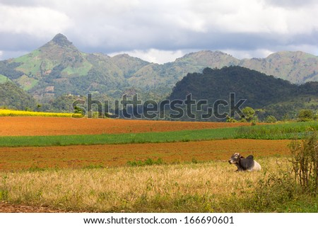 zebu cow and plowed fields, hills and mountains in the background, Myanmar(Burma) - stock photo