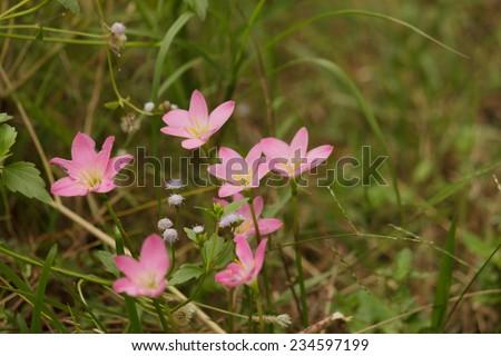 Zephyranthes - stock photo