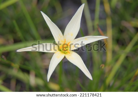 zephyranthes candida flower - stock photo