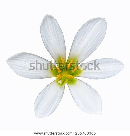 zephyranthes candida flower isolated on white with clipping path - stock photo