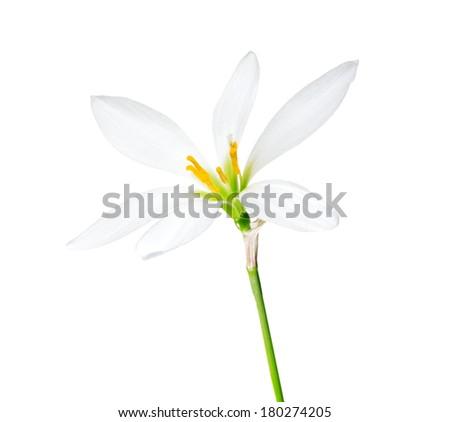 Zephyranthes isolated on white. - stock photo