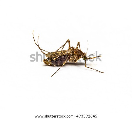 Zica virus aedes aegypti mosquito isolated on white, Dengue, Mosquito is carrier of Malaria, Encephalitis