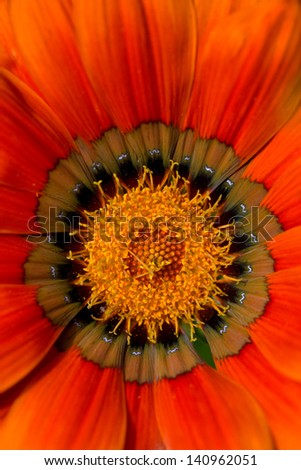 Zinnia closeup - stock photo