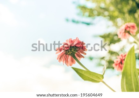 Zinnia flower and blue sky in the garden nature and park vintage - stock photo