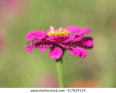 Zinnia flower,closeup of red Zinnia flower in full bloom,Youth-and-old-age flower - stock photo