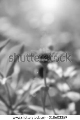 Zinnia flower,closeup of red Zinnia flower in full bloom,Youth-and-old-age flower ,black and white ,blur - stock photo