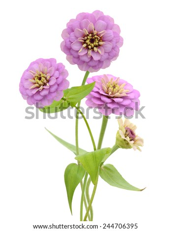 Zinnia flower on a white background  - stock photo