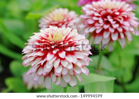 Zinnia flowers  - stock photo