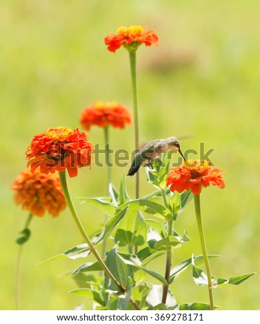 Zinnia flowers in a sunny summer garden with a Hummingbird feeding on one of them - stock photo