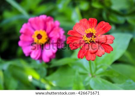 Zinnia, flowers in bright green fields. - stock photo