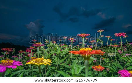 Zinnia flowers in dawn - stock photo