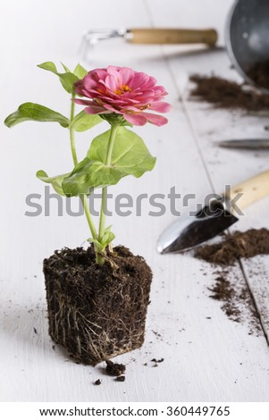 Zinnia seedling is ready for planting. Springtime, little pink flower, gardening concept. - stock photo
