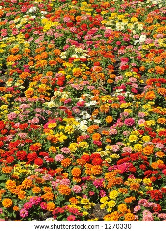 Zinnias - a large array