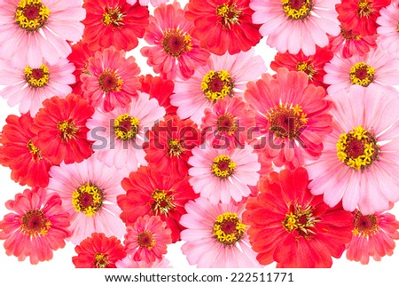 Zinnias flower petals - stock photo