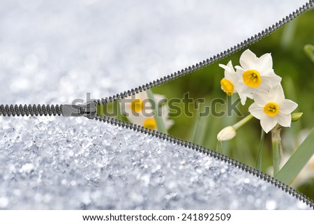 Zipper revealing narcissus under the snow - stock photo
