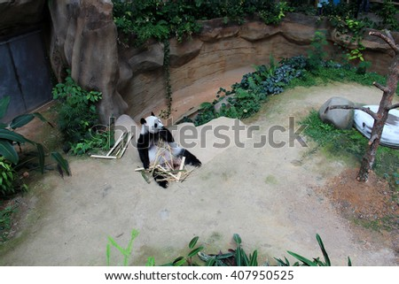 Zoo Negara, MALAYSIA - APRIL 9, 2016 :Xing Xing the Giant panda on loan from China to Malaysia Resting at his place eating Bamboo - stock photo