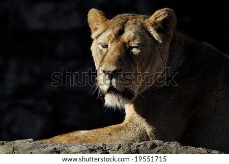 Zoo, the lioness is basked in the spring sun - stock photo