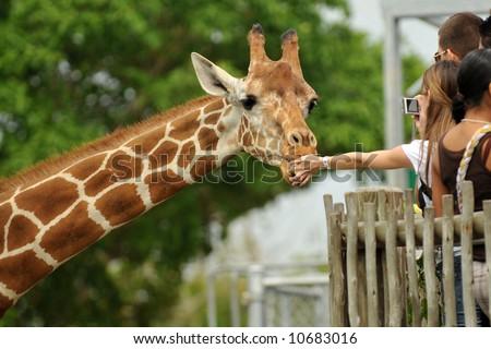Zoo visitors feeding a giraffe from a raised platform. - stock photo