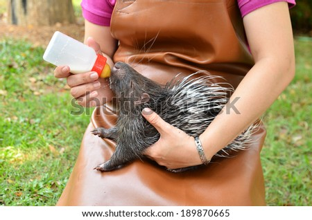 zookeeper take care and feeding baby porcupine - stock photo