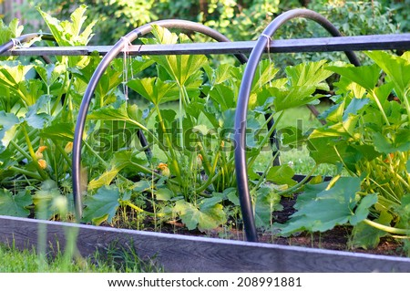 zucchini on vegetable bed. vegetable marrow growing in the garden - stock photo