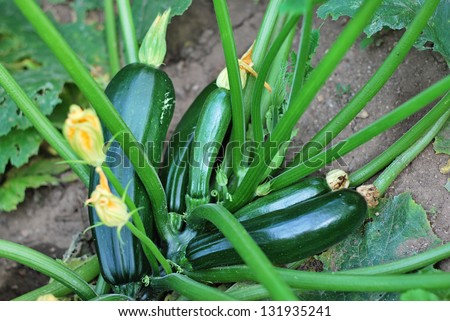 Zucchini plant- fruits and flowers, selective focus on fruit - stock photo