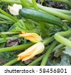 Zucchini with flowers in vegetable garden - italian horticulture - courgette plant - stock photo