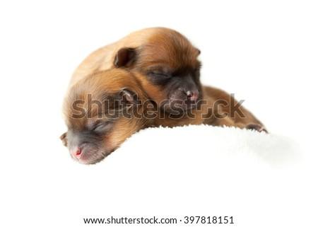 Zverg Spitz, Pomeranian puppies, couple of days old - stock photo
