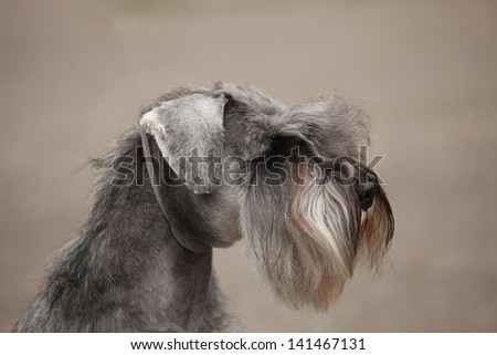 Zwergschnauzer color pepper and salt portrait - stock photo