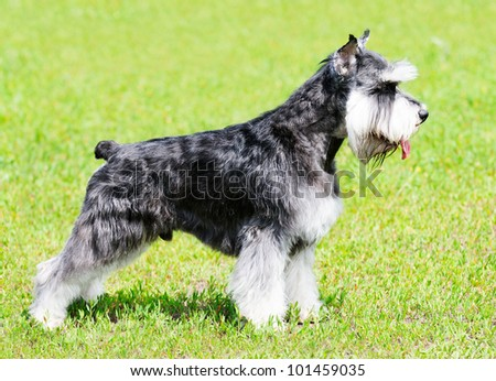 Zwergschnauzer dog standing on green grass