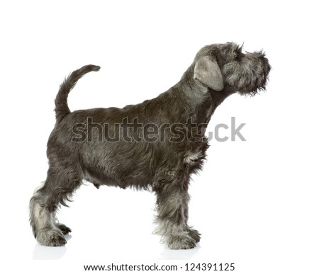 zwergschnauzer puppy standing in profile. isolated on white background - stock photo