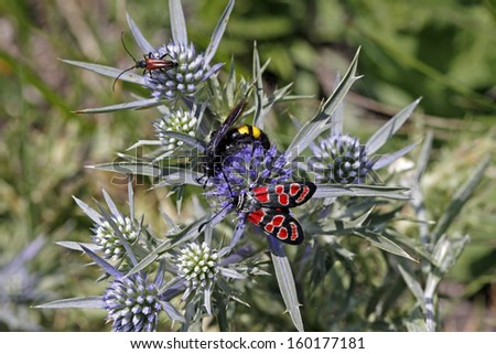 Zygaena carniolica burnet on amethyst sea holly (Eryngium amethystinum) in Italy, Europe - stock photo