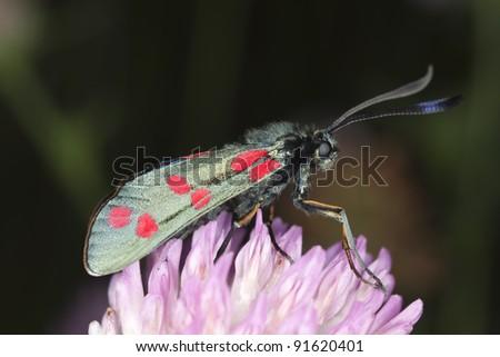 Zygaena moth resting on straw, macro photo - stock photo
