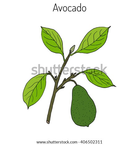 Avocado or alligator pear (Persea americana). Hand drawn botanical vector illustration