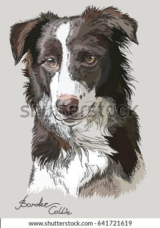 border collie vector hand drawing illustration in different color on grey background