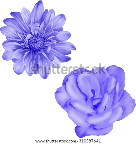chrysanthemum flower, Blue Spring Camellia flower.Isolated on white background. Vector golden-daisy.