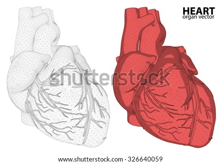 3d Heart wireframe mesh digestive system isolated on background, for anatomy,medical,body,stomach,medicine,heart,biology,internal,care. conceptual anatomical human  - stock vector