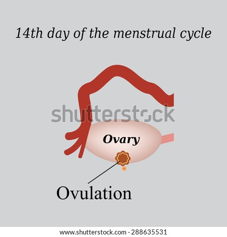 14 day of  the menstrual cycle - ovulation. Vector illustration on a gray background. - stock vector