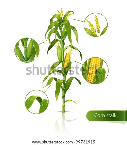 Encyclopedic vector illustration of corn stalk.