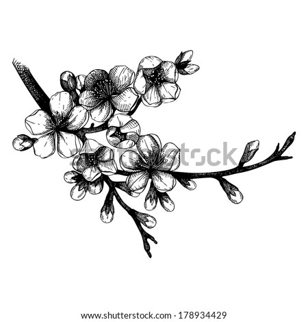 Hand drawn blooming  fruit tree twig illustration. Isolated on white. - stock vector