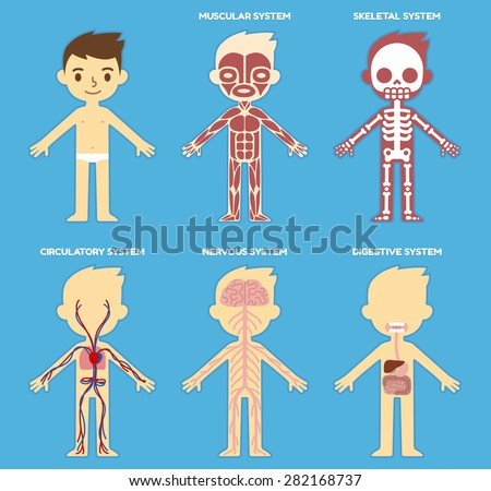 my body educational anatomy body organ stock vector 282168737,