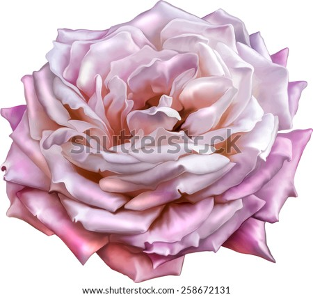Pink Rose Flower, Sexy and beautiful and rose bud isolated on white background. Vector illustration - stock vector