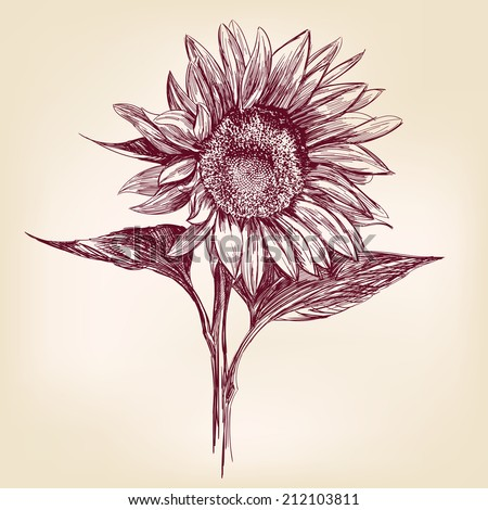 sunflower hand drawn vector llustration realistic sketch - stock vector