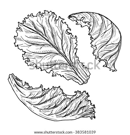 how to draw lettuce step by step