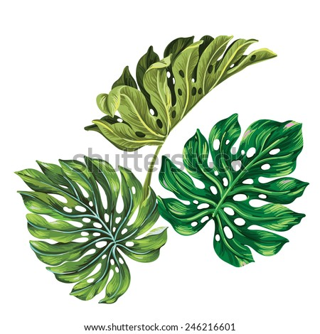 3 vector tropical palm leaves. realistic drawing in vintage style. isolated on white. monstera leaves. - stock vector