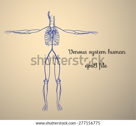 Venous system human high quality - stock vector