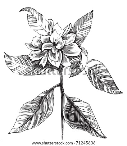 A common gardenia engraving illustration, in black and white, from Trousset encyclopedia 1886 - 1891. - stock vector